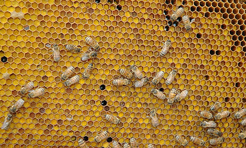 Colony Collapse Disorder FAQ